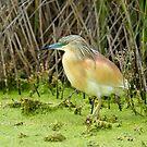 Squacco Heron - Doñana, Spain by Calvin Smith