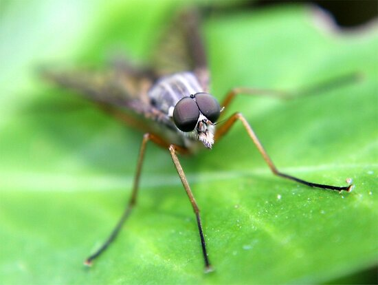Fly On Ivy Leaf by Robbie Labanowski