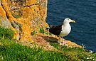 A blackbacked gull guards it's nest, Saltee Islands, County Wexford, Ireland by Andrew Jones