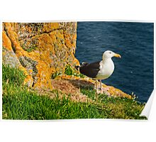 A blackbacked gull guards it's nest, Saltee Islands, County Wexford, Ireland Poster