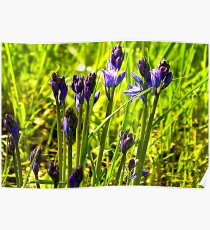 Bluebells Emerging  (late spring) Poster