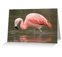 Chilean Flamingo wading Greeting Card