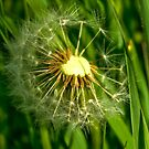Half-Time   -  Dandelion Clock by Trevor Kersley