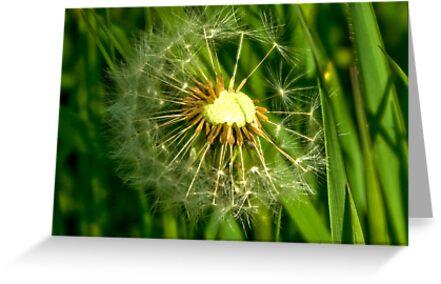 Half-Time   -  Dandelion Clock by Trevor Kersley