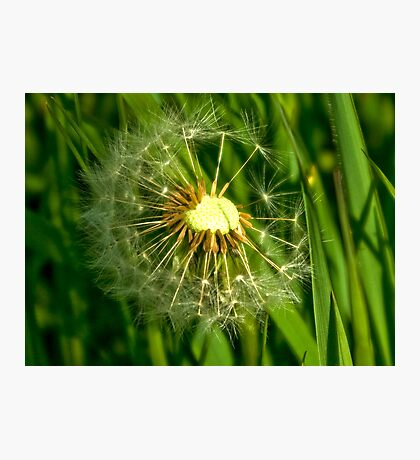 Half-Time   -  Dandelion Clock Photographic Print
