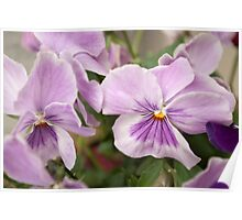 Siblings - Soft purple violets Poster