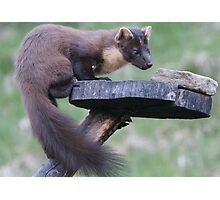 Pine Marten1 at Dusk Photographic Print