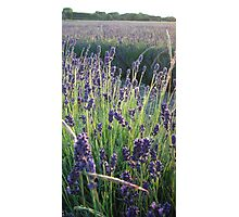 Lavender forever Photographic Print
