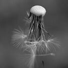 BW Dandelion by Melzo318
