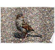 House Sparrow Portrait Poster