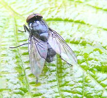 Fly on a leaf. by Livvy Young