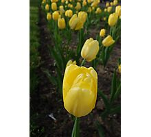 The Yellow Tulip Photographic Print