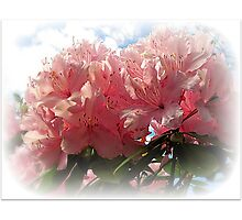 ~ Rhododendron ~ Photographic Print