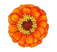 Zinnia in Orange by Suzannah Alexander