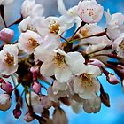 Sakura Festival of Cherry Blossoms by Marge Litvinskas