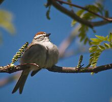 Chipping Sparrow by Kathleen  Bowman
