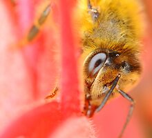 Bee on Grevillea by Moorey