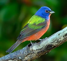 Painted Bunting by PaulWilkinson