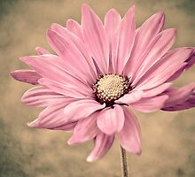 Pink Petals by Nikki Collier
