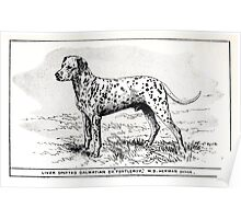 All about dogs a book for doggy people Charles Henry Lane 1900 0193 Liver Spotted Dalmatian_jpg Poster