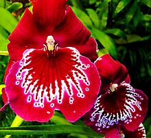 #295          Red & White Orchid by MyInnereyeMike