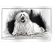 All about dogs a book for doggy people Charles Henry Lane 1900 0299 Maltese Terrier_jpg Poster