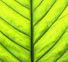 Spring Leaf by Paula Bielnicka