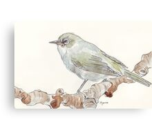 Cape White Eye (Witogie) Canvas Print