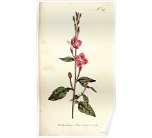 The Botanical magazine, or, Flower garden displayed by William Curtis V9 V10 1795 1796 0130 Oenothera Rosea Rose Colored Oenothera Poster