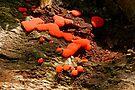 Red Raspberry Slime Mold - Tubifera ferruginosa by MotherNature