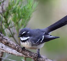 Grey Fantail by Jeremy Weiss
