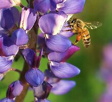 Spring Honey Bee on Lupine by Diana Graves Photography