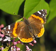 Red Admiral On A Lilac by Tracy Wazny