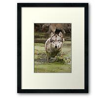 Swamp wolf Framed Print