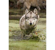 Swamp wolf Photographic Print