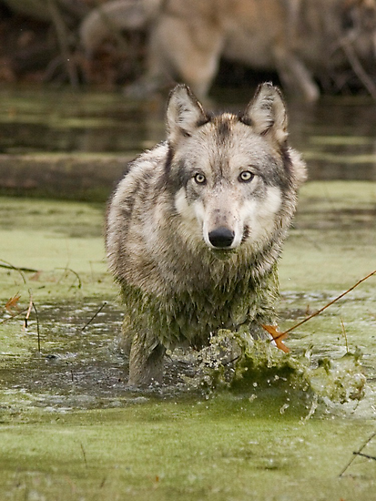 Swamp wolf by Anthony Brewer