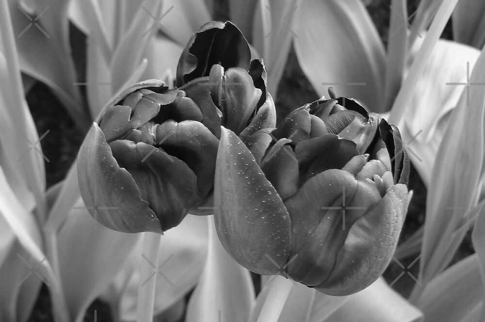 bw tulips by LisaBeth