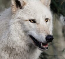 Grey Wolf Portrait by Athena Mckinzie