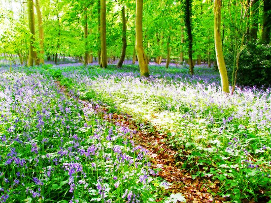 Amonst the Bluebells Turville - Orton by Colin J Williams Photography