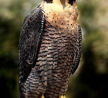 Australian Peregrine Falcon (Falco peregrinus macropus) by Mark Bolton