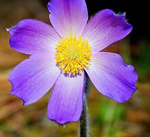Pasqueflower by amontanaview