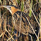 bittern by Grandalf