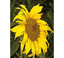 You Brighten My Day Sunflower Photographic Print