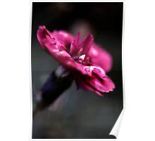Petal Dancer - Colour Poster