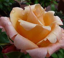 Concert in pink: Springtime rose after the rain by presbi
