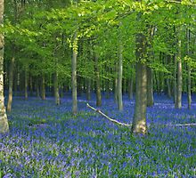 Panoramic bluebells by Mark Thompson