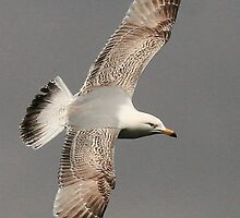 Flight Of The Herring Gull by snapdecisions