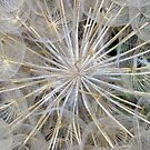 Dandelion Head by Alison Malcolm Flower