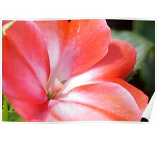 New Guinea Impatiens Poster