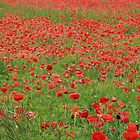 Poppy Field by Sue Ellen Thompson
